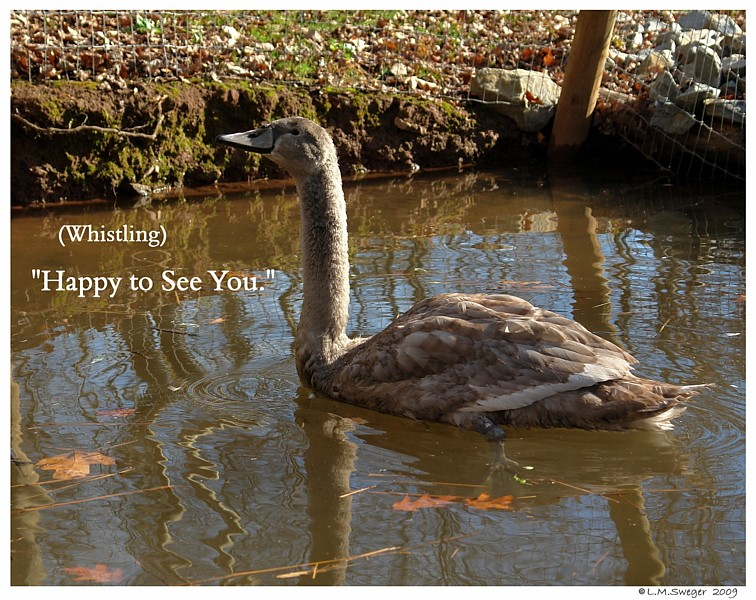 Cygnet Greeting