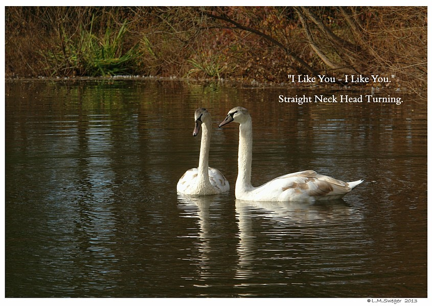 Swan Body Language