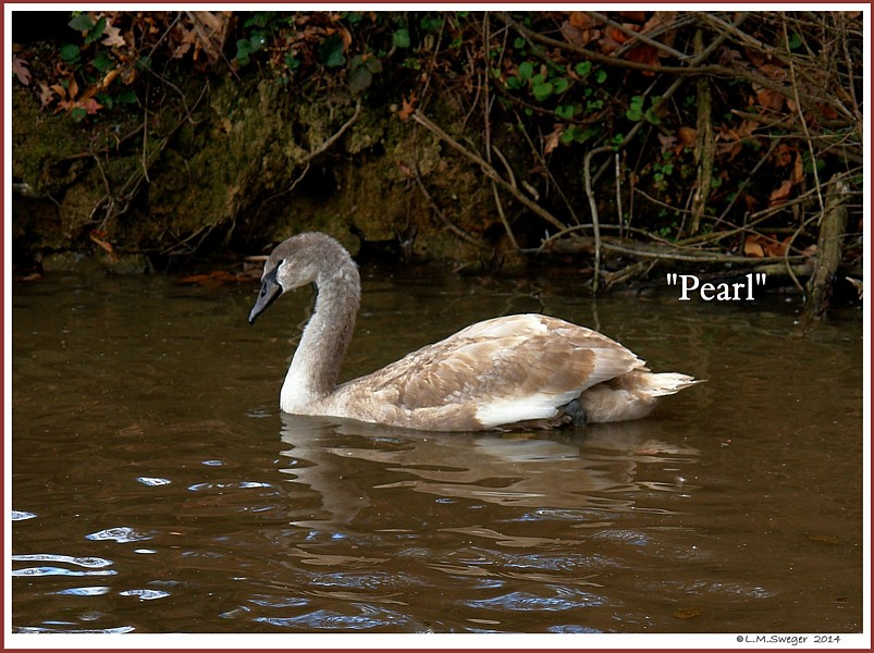 Female Mute Swan Cygnet Pearl