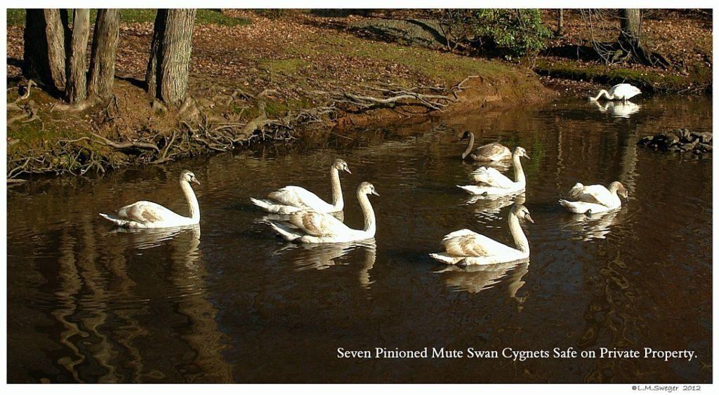 Captive Mute Swan Cygnets