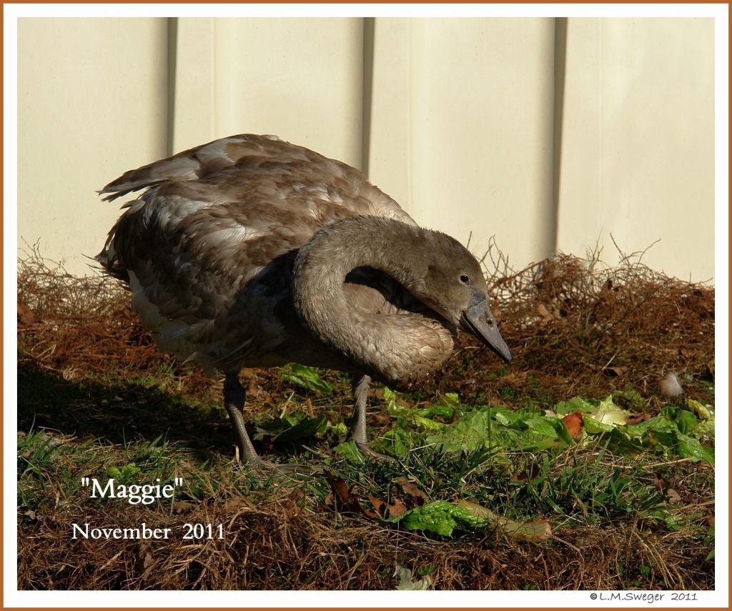 Mute Swan Cygnet Maggie