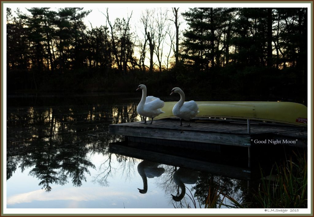 Swans Watch SunSet
