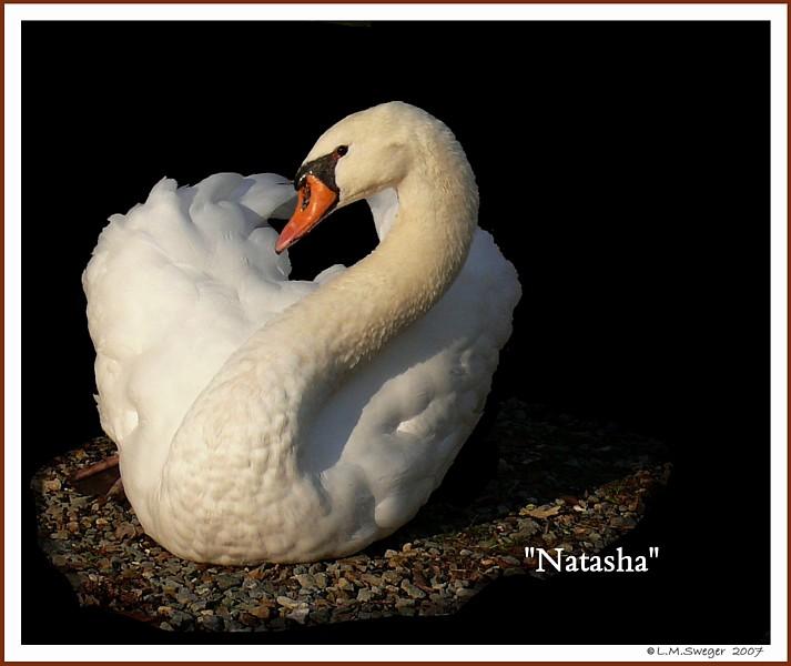 Female Mute Swan Natasha