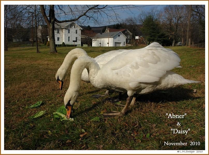 Mute Swan Pair Abner Daisy