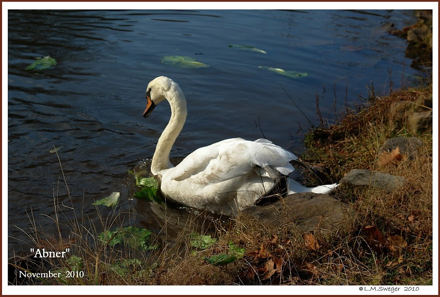 Male Mute Swan Abner