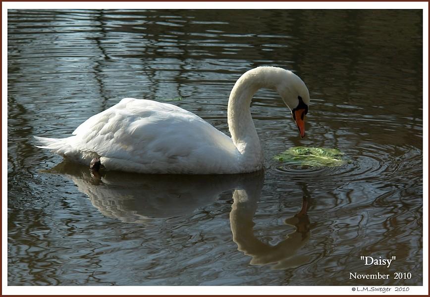Female Mute Swan Daisy