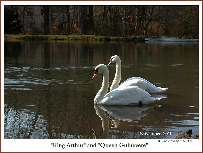 Mute Swan Pair  King Arthur  Queen Guinevere