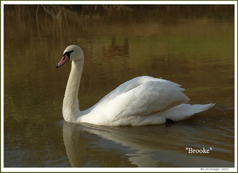 Female Mute Swan Brooke
