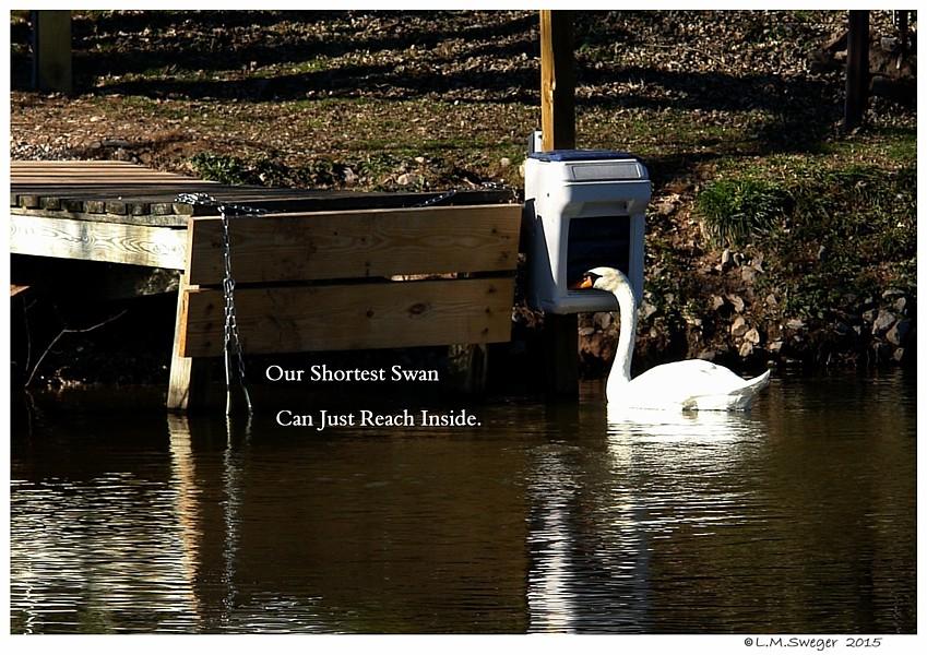 Swan Feeder Captive Mute Swans Feeding Swans