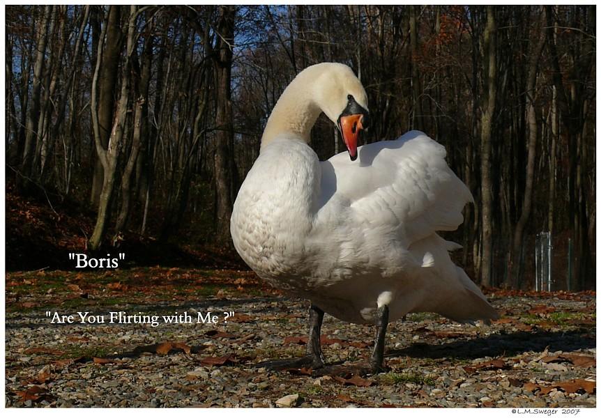 Mute Swan Alone