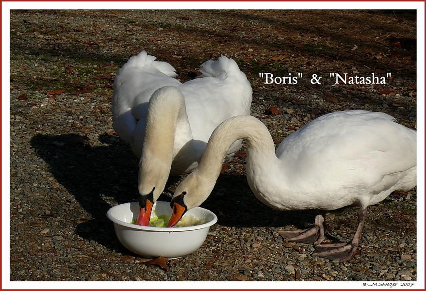 Mute Swan Pair Boris Natasha
