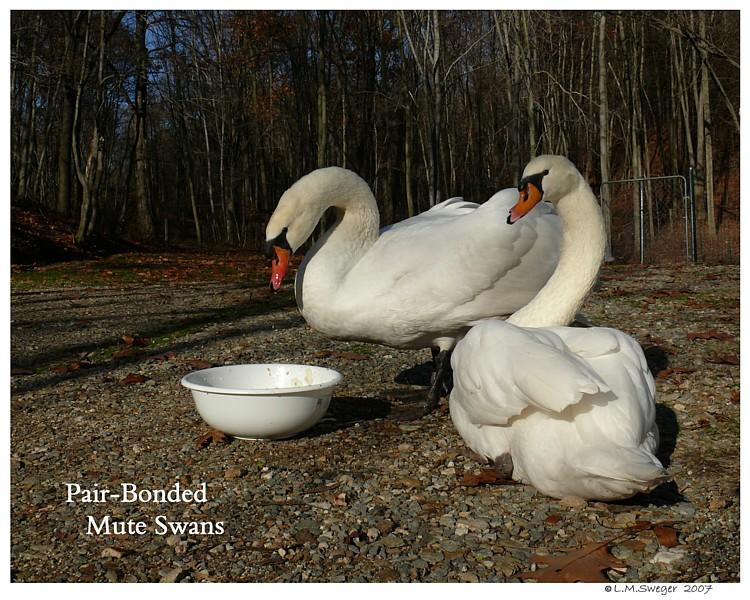 Mute Swan Brood Pair