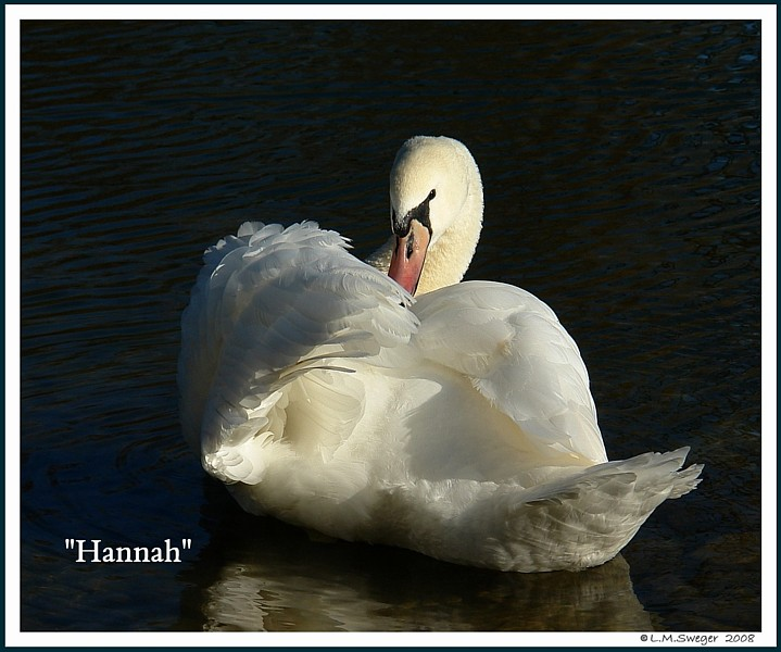 Female Mute Swan Hannah