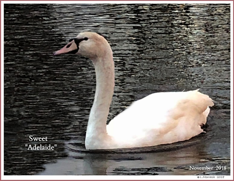 Female Mute Cygnet