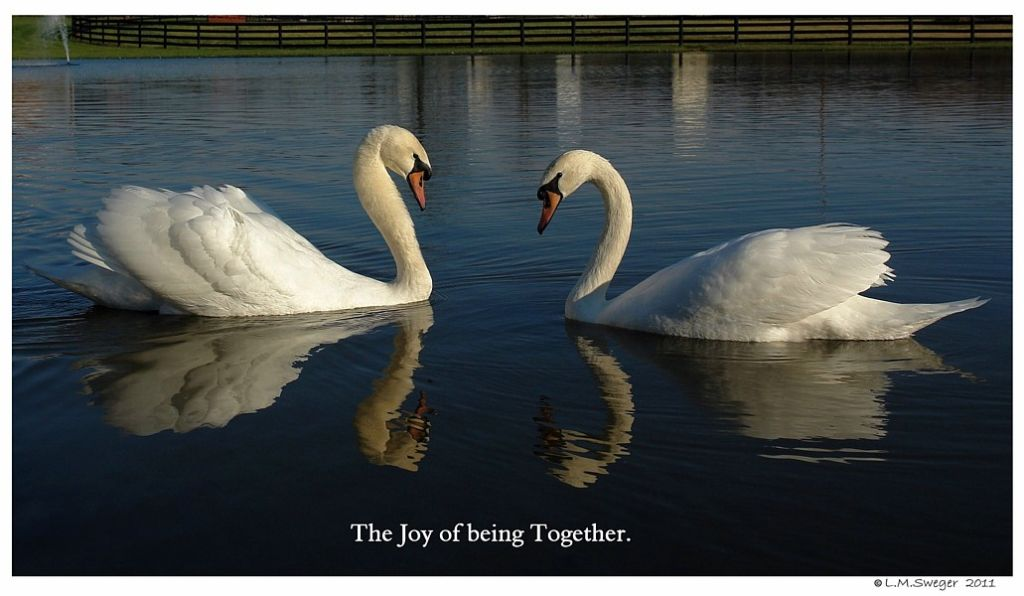 Young Swans Pair Bonding