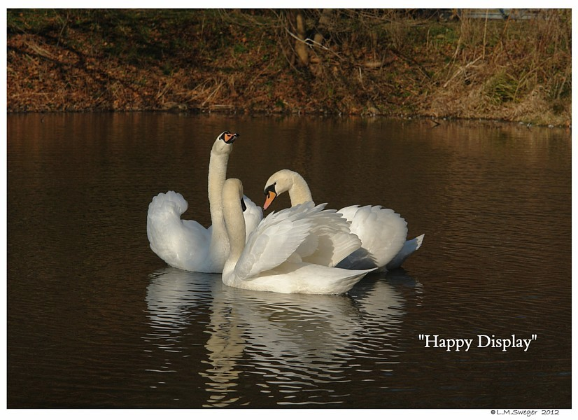 Swans Happy Together