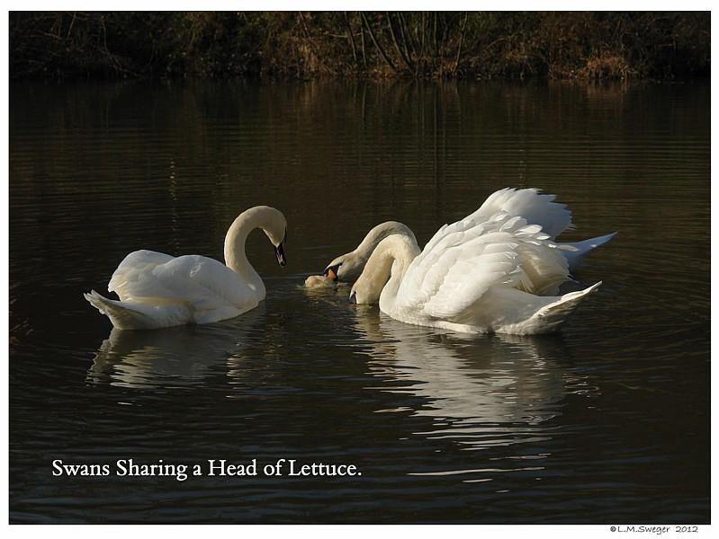 Swans Lettuce Captive Mute Swans Feeding Swans