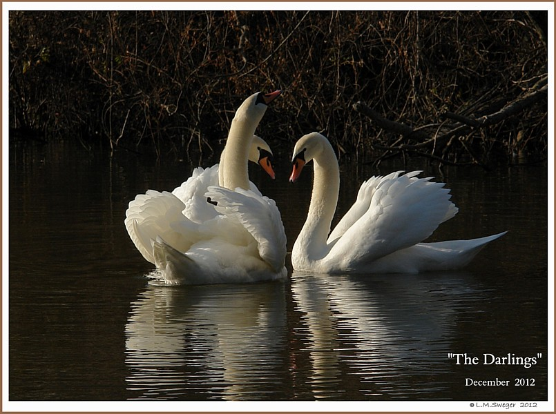 Mute Swan Threesome  Brooke Spring Meadow