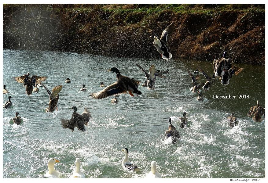 Migrating Mallard Ducks