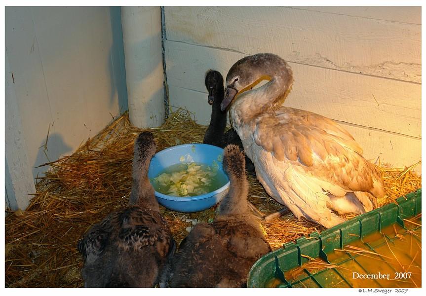 Sheltering Swan Cygnets