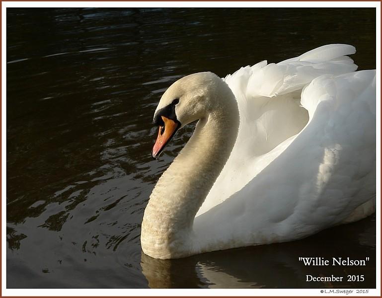 Male Mute Swan Willie Nelson