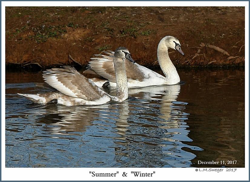Mute Swan Cygnets Summer Winter