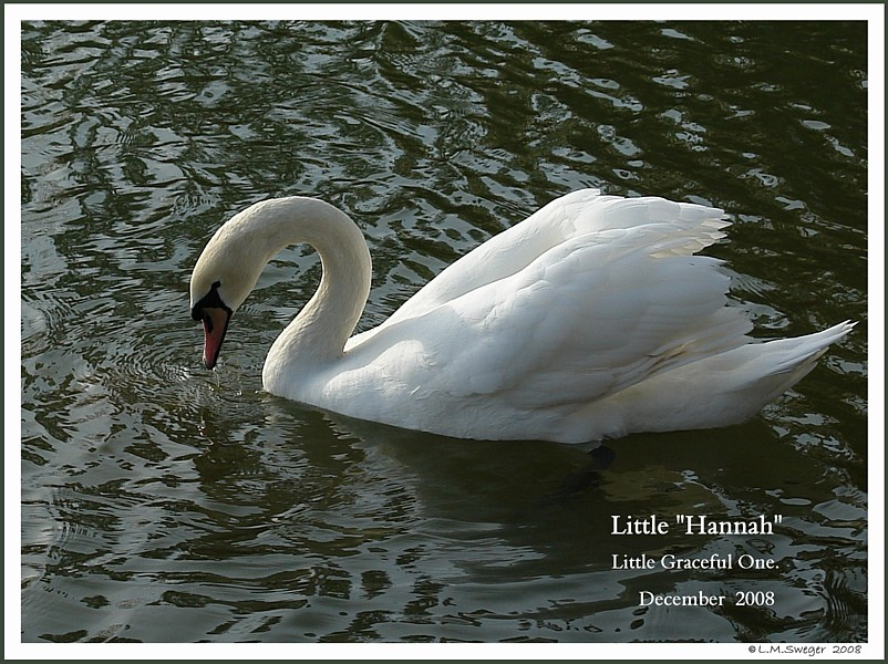 Maiden Mute Swan Hannah
