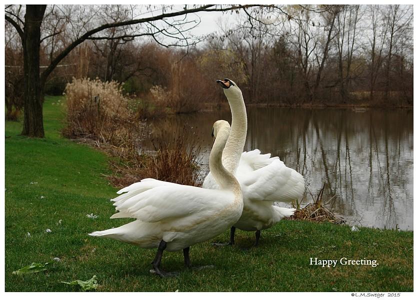 Happy Male Swans