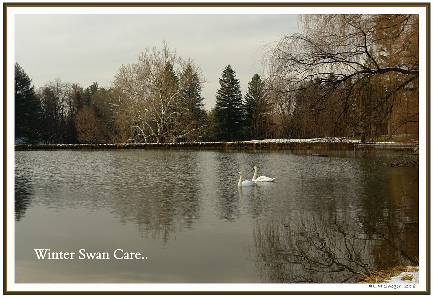 Swans Winter Care