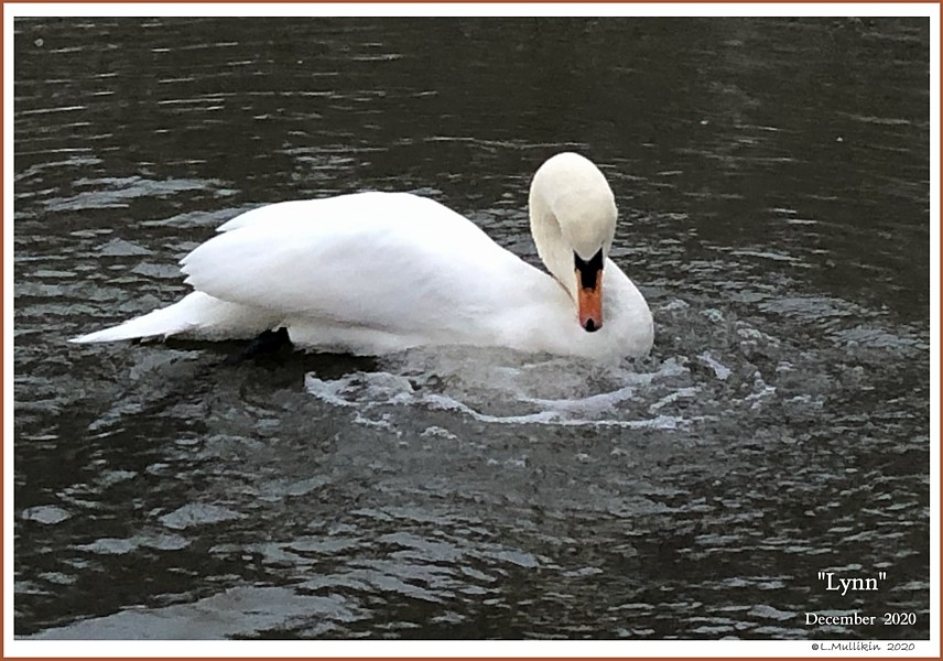 Mute Swan Cob Lynn Swann