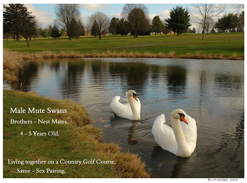 Golf Course Mute Swans