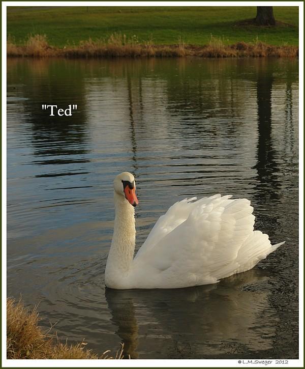 Polish Mute Swan Ted