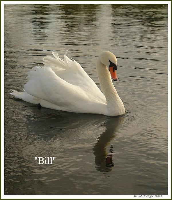 Royal Mute Swan Bill