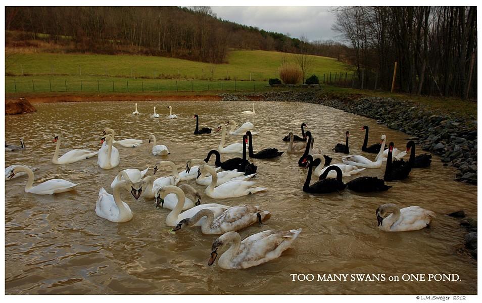 Buying Swan