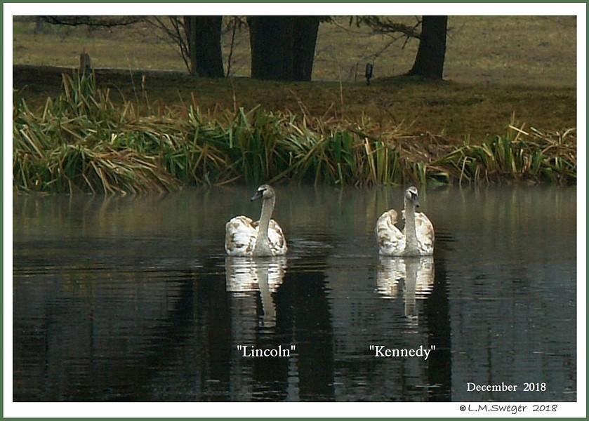 Male Swan Mute Cygnets  Lincoln  Kennedy