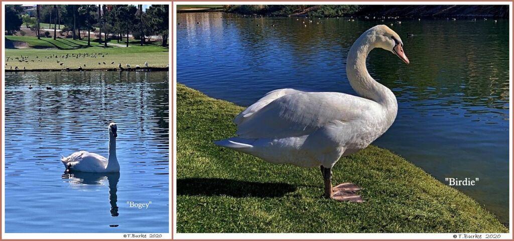 Female Mute Swans  Bogey  Birdie
