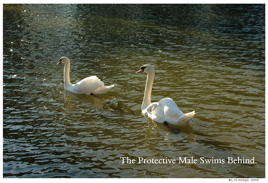 Mute Swan Bonded Pair