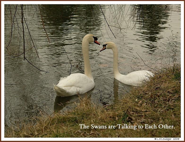 Swans Talking together