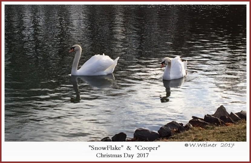 SnowFlake Mute Swan Cooper