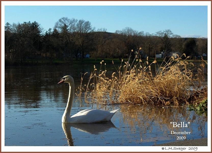 Female Mute Swan Bella