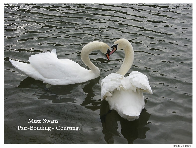 Swans Pair Bonding