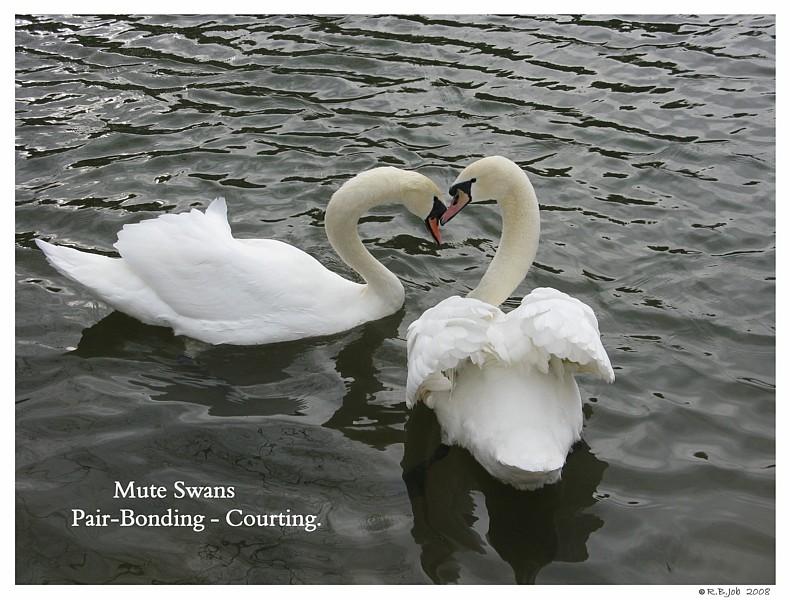 Swans Pair Bonding