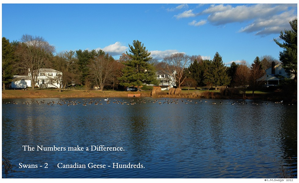Canadian Geese Pond