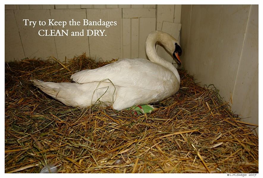 Shelter Swans