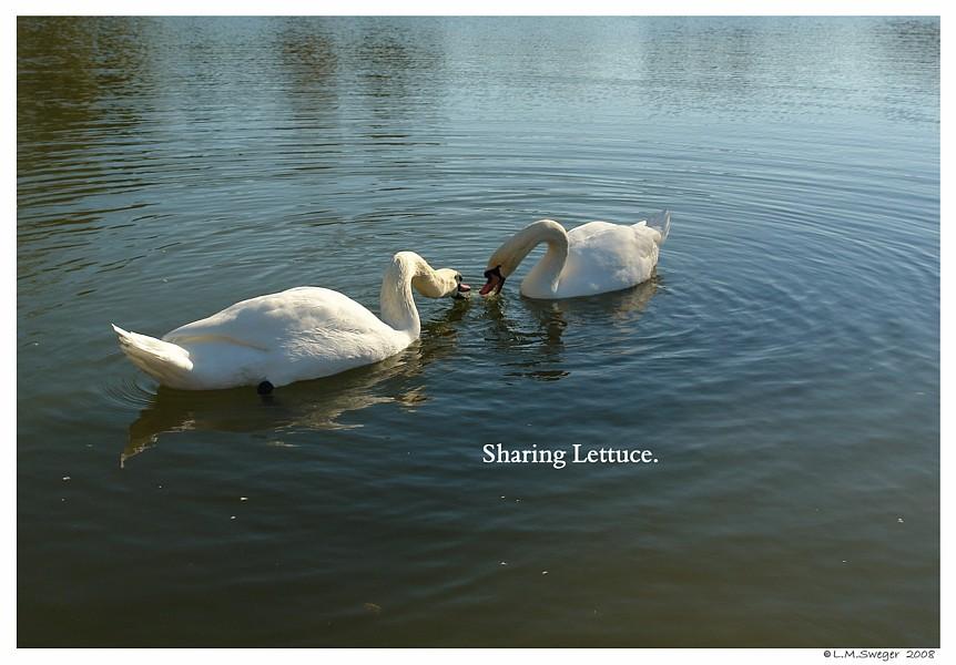Lettuce Play for Swans