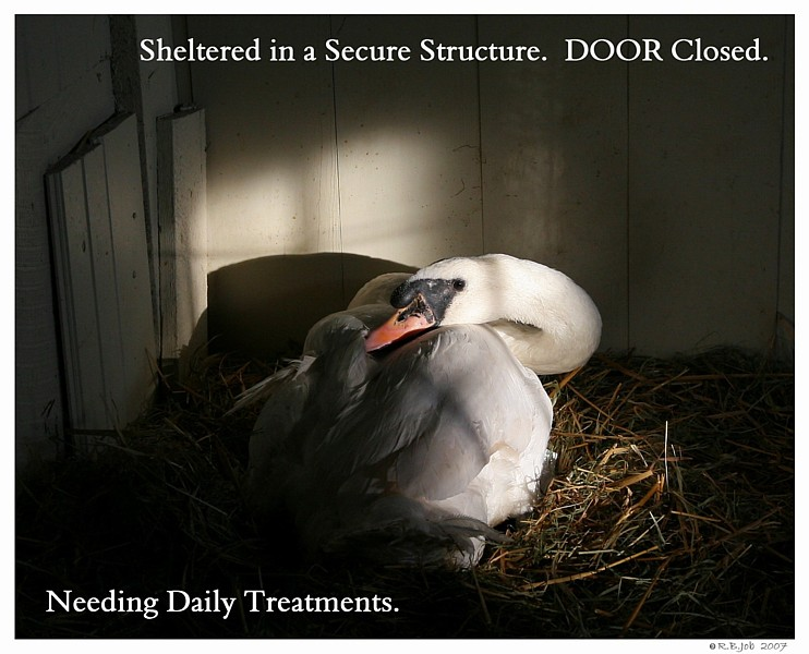 Sheltering Swans