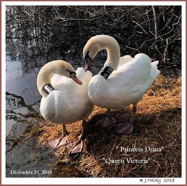 Polish Mute Swan Cygnets  Victoria Diana