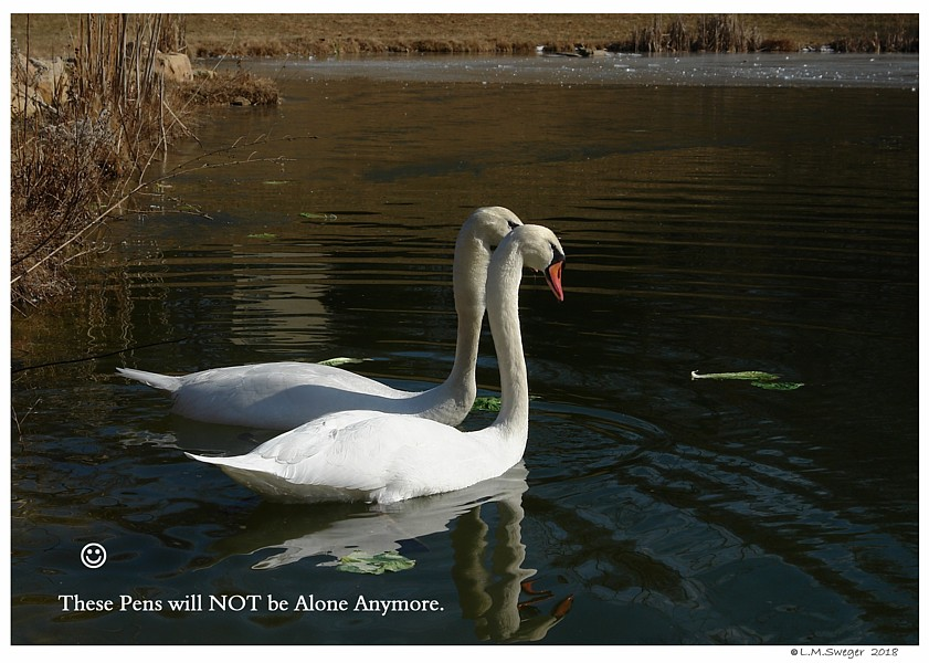 Mute Swan Introduction