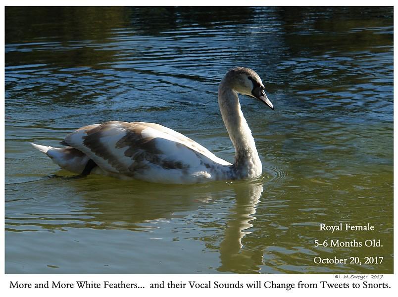 Swan Body Language Vocals