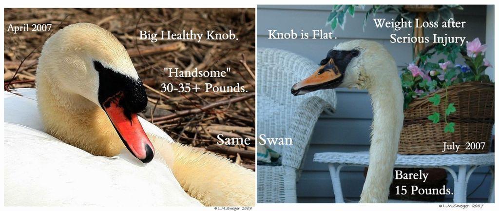 Mute Swan Knob Swans DNA-Sex Testing